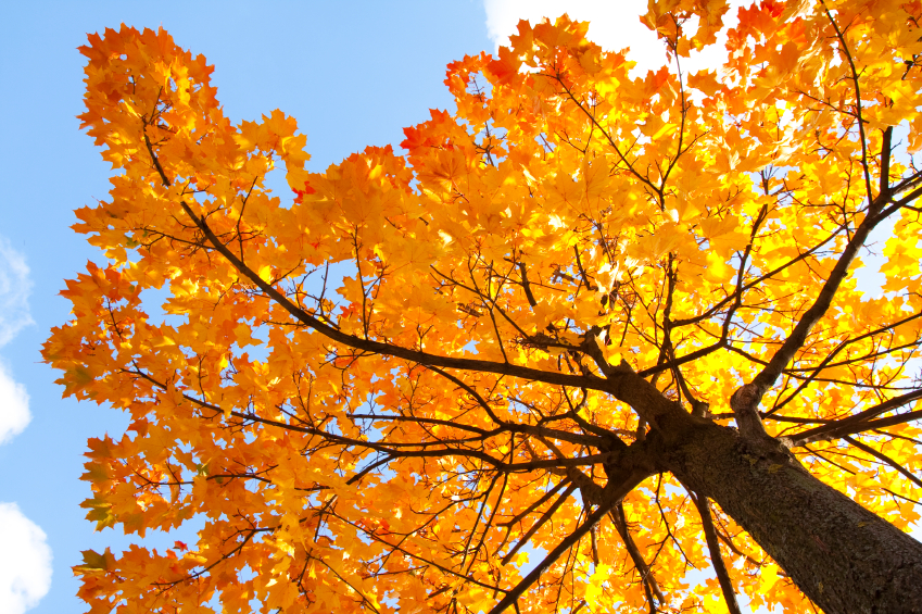 What Kinds Of Maple Trees Can Be Tapped Blain S Farm Fleet Blog