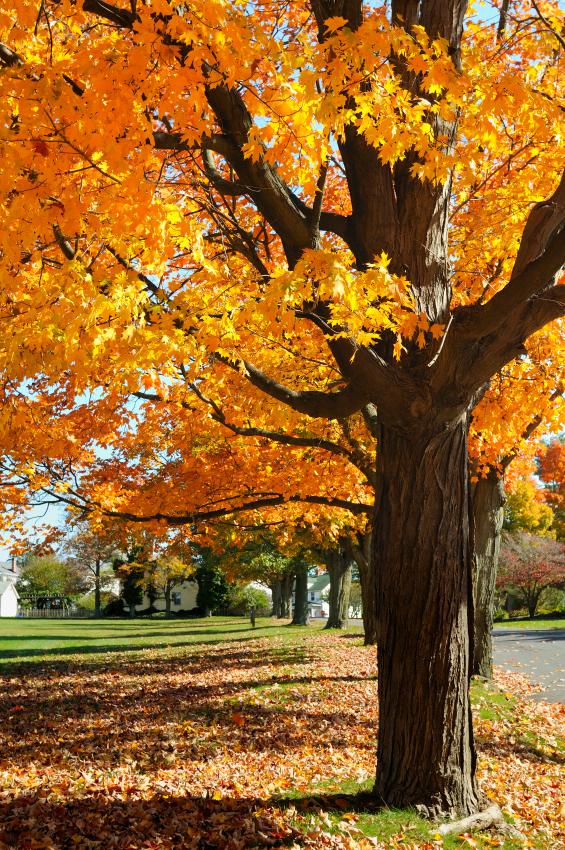 Maple Tree Identification Mapping Blain S Farm Fleet Blog