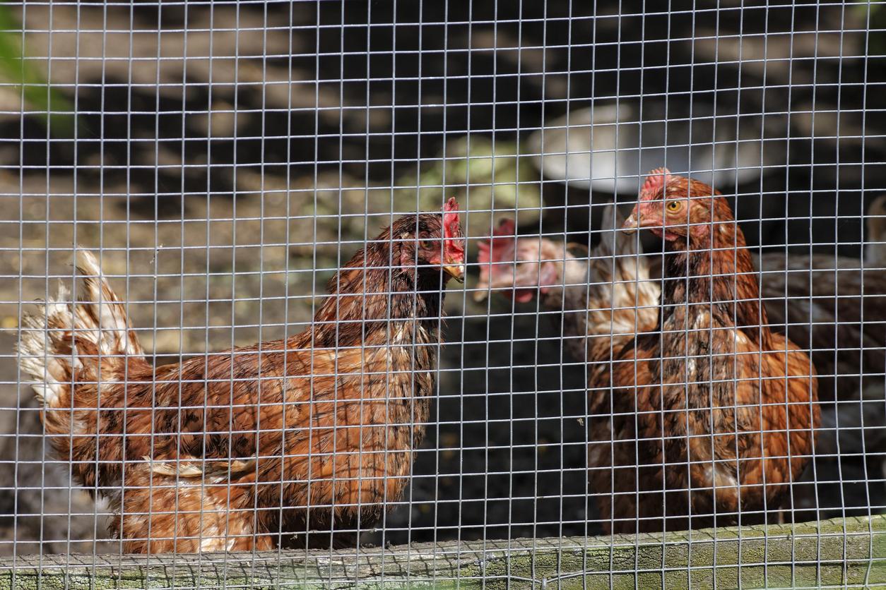 How To Build A Chicken Wire Fence Blain S Farm Fleet Blog